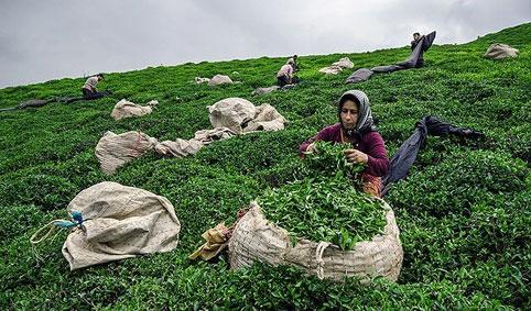 چای ارگانیک | ]hdd hv'hkd; | organic tea | چای طبیعی | چای غیر تراریخته | چای اصل سنتی | چای ارگانیک ایرانی