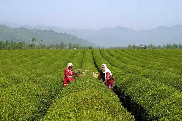 فروشگاه آنلاین خرید چای شمال | چای باکیفیت و مرغوب ایرانی